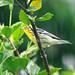 Blackburnian Warbler 101203 IMGP2571