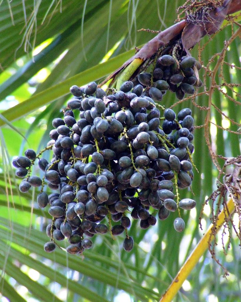 chinese fan palm fruit - photo #1