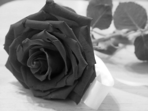 Red Rose, Black And White