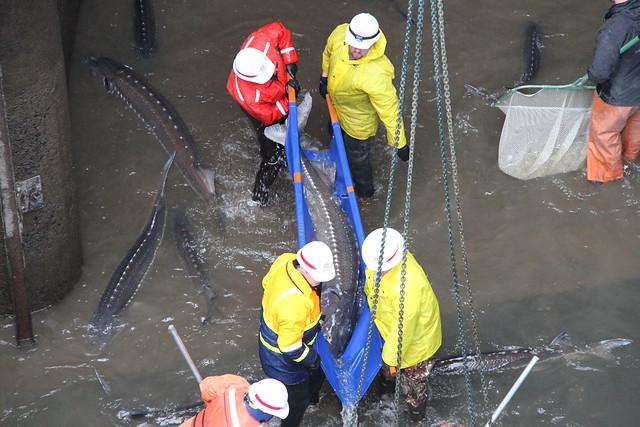 Bonneville dam sturgeon removal img 3054 flickr photo for Bonneville dam fish camera