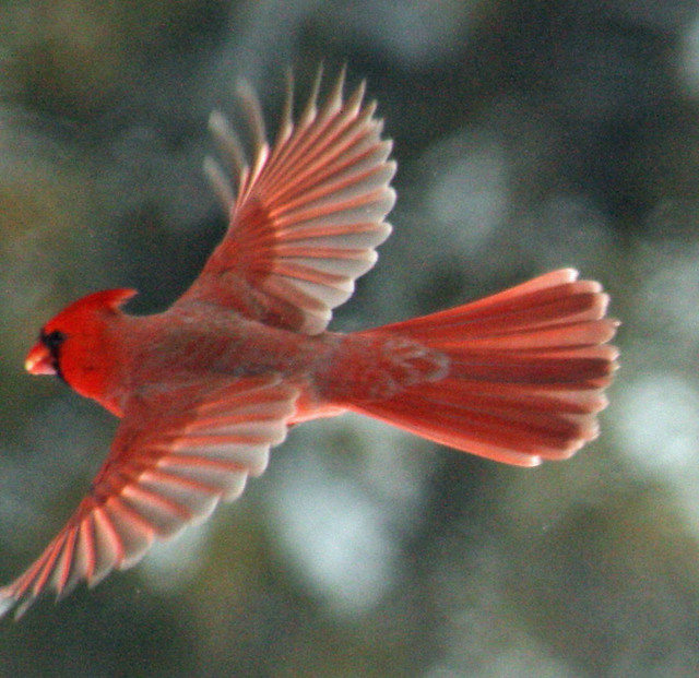 Female cardinal in flight - photo#19