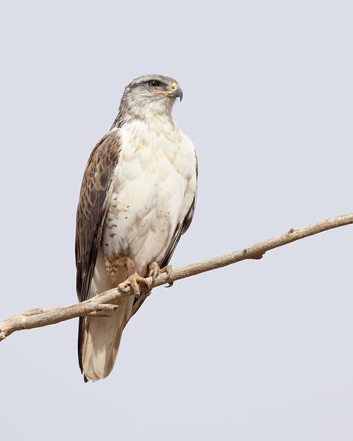 Arizona Ferruginous Hawk