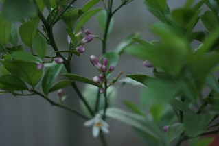 Flowering Lemon Tree | by niftyfoodie