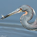 Tricolored Heron 7924