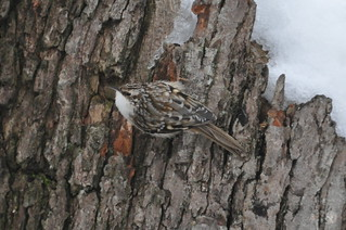 Brown Creeper, Virginia | by Dave Govoni