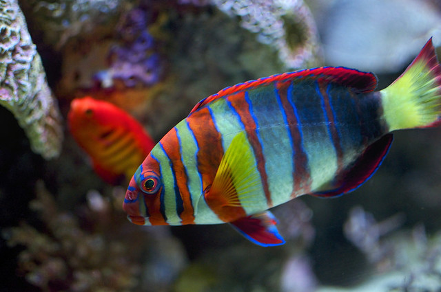 Colorful fish fused not hdr flickr photo sharing for Colorful freshwater aquarium fish