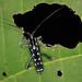 Glenea spec. (Cerambycidae) from W-Papua