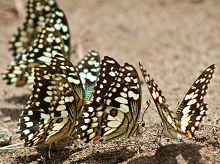 Butterfly Party | by aussiegall