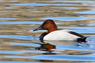 IMG_4682 Canvasback Drake | by lois manowitz
