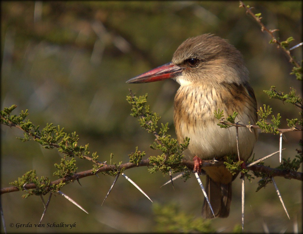 Brown hooded kingfisher - photo#49