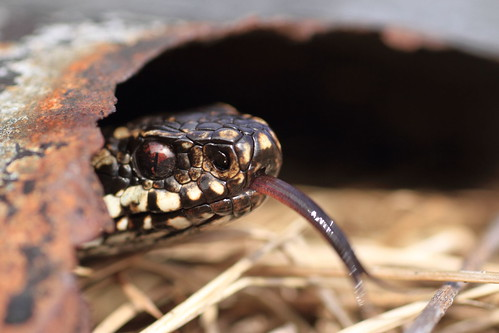 Adder | by therealbadgerboy
