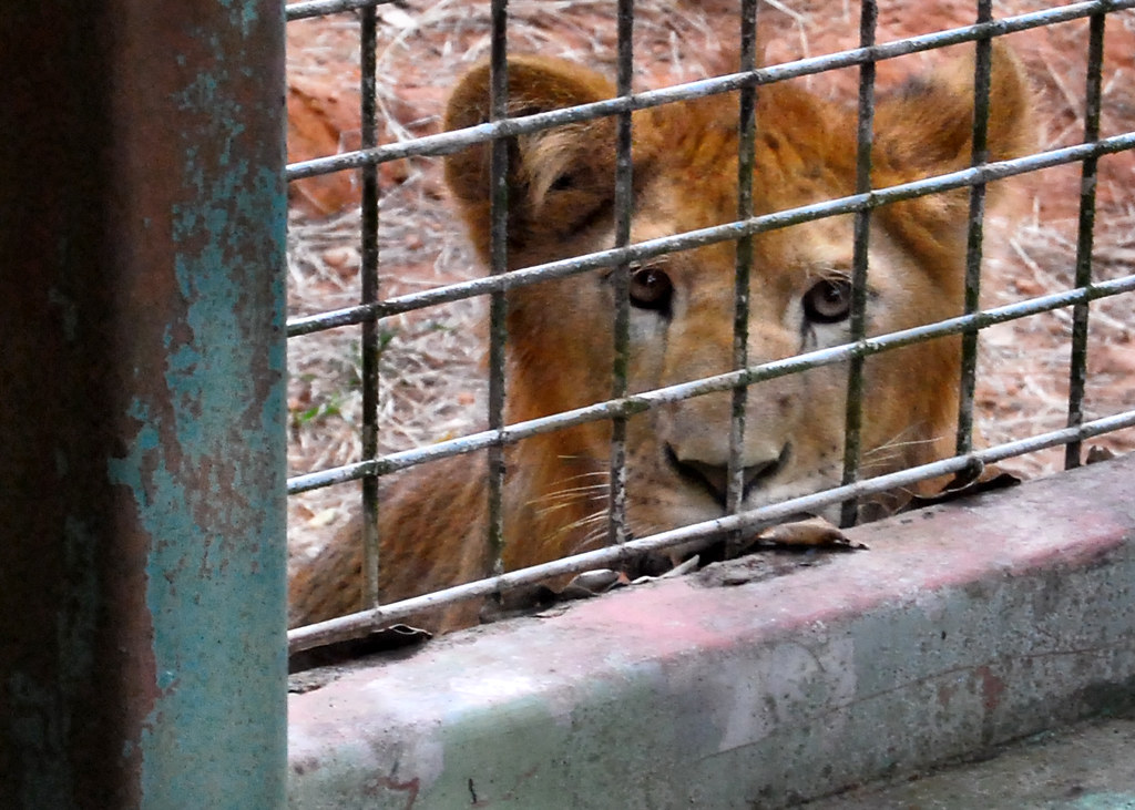 Mayaguez Zoo Puerto Rico Lion Cub at Mayag ez Zoo Puerto Rico