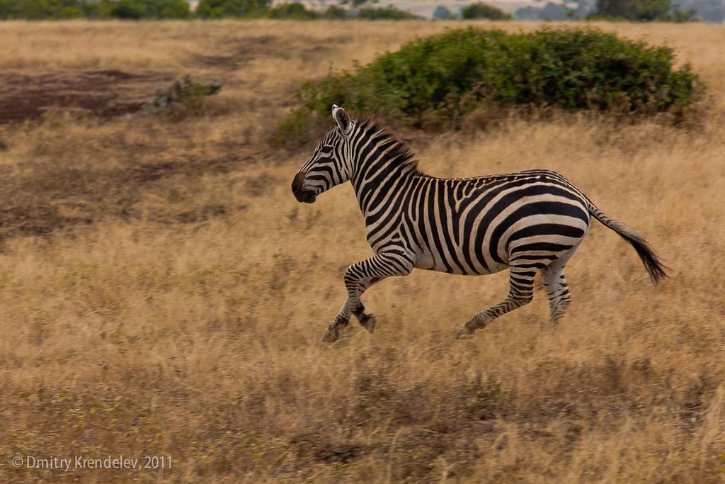zebra running - photo #7