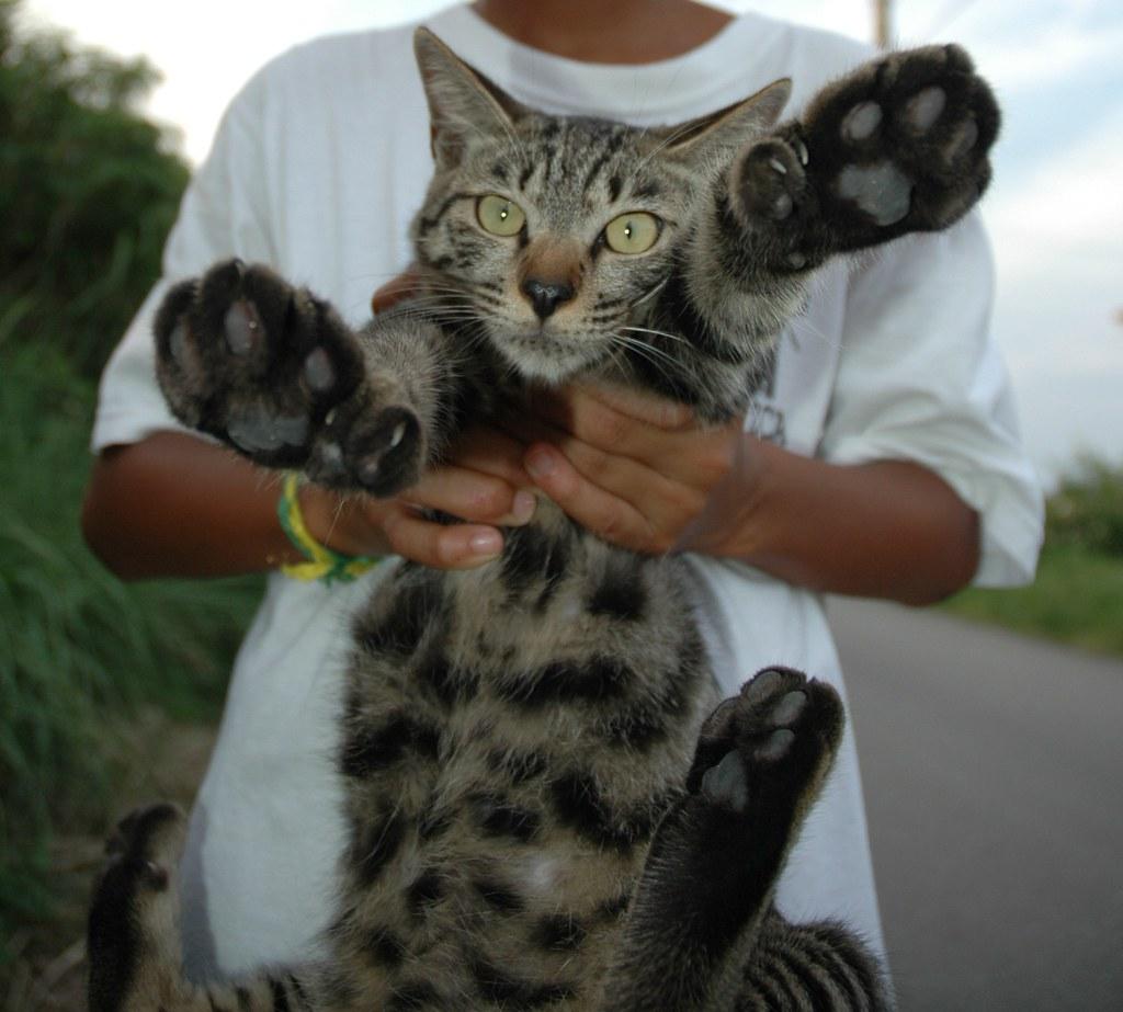 hemingway cat quotbootsquot okinawa hemingway cat name