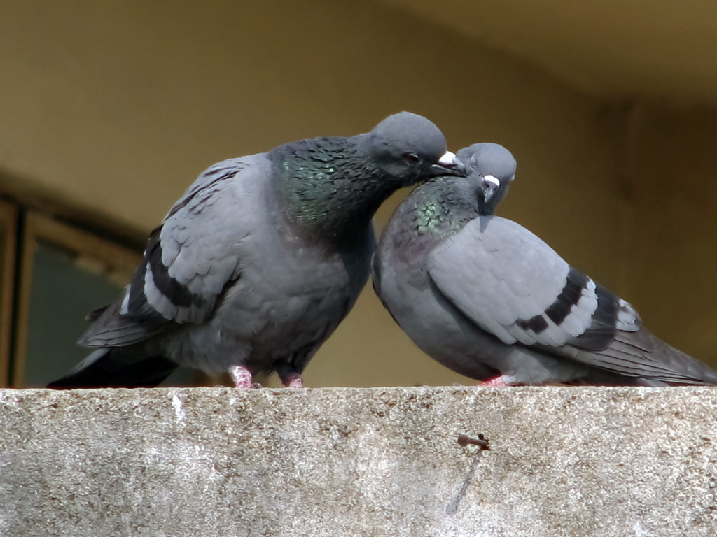 Pigeon Couple Wallpaper Pigeon Couple | Flickr Photo