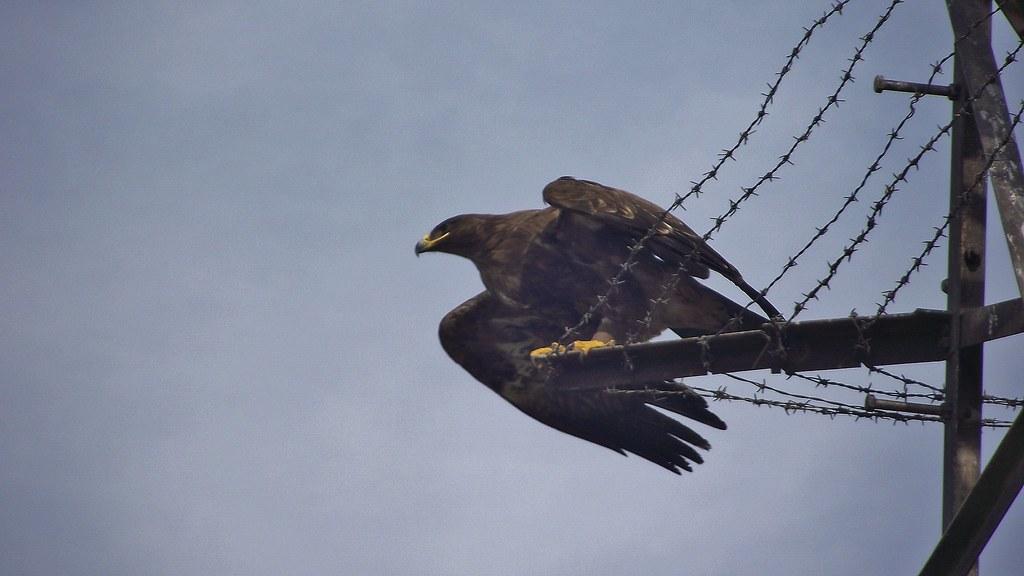 Wikipedia Steppe Eagle Steppe Eagle in Rawalpindi