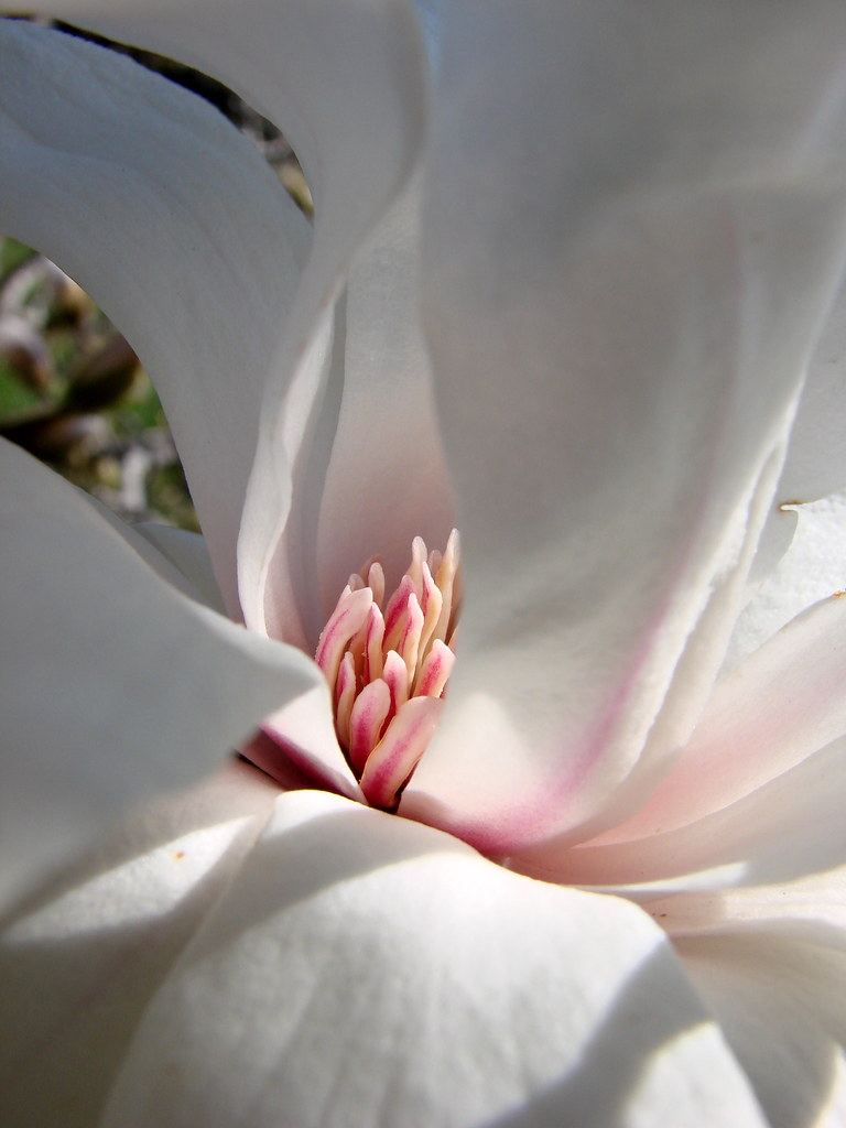 Into The Light Within Star Magnolia Catching The Little