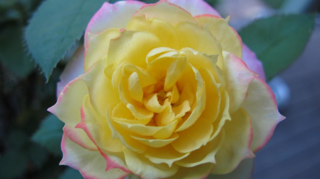 Yellow rose with pink tips | Tamamareen | Flickr