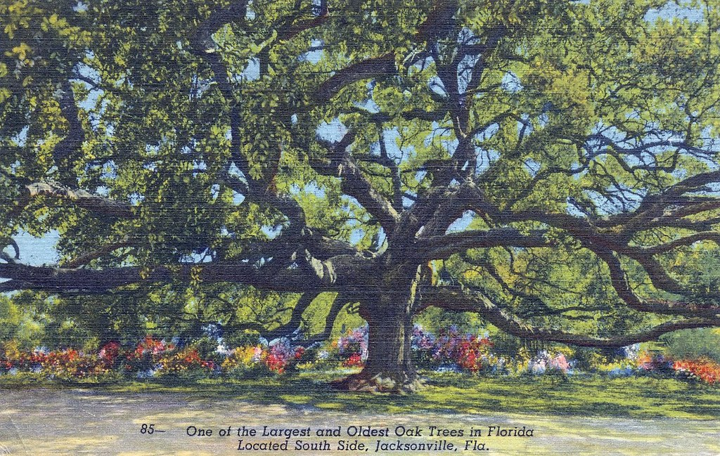 """Postcard: Florida Oak Tree 