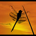 Silhouette - Dragonfly ( Explore )