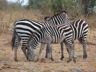 Mara Zebras | by Victoria Safaris