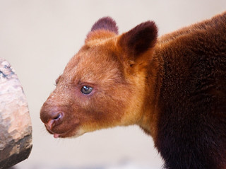 Tree Kangaroo staring at a log | by San Diego Shooter