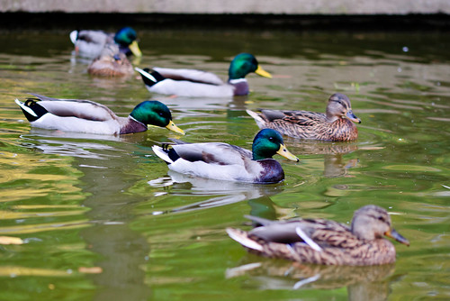 Several ducks swimming in a small pond | by Horia Varlan