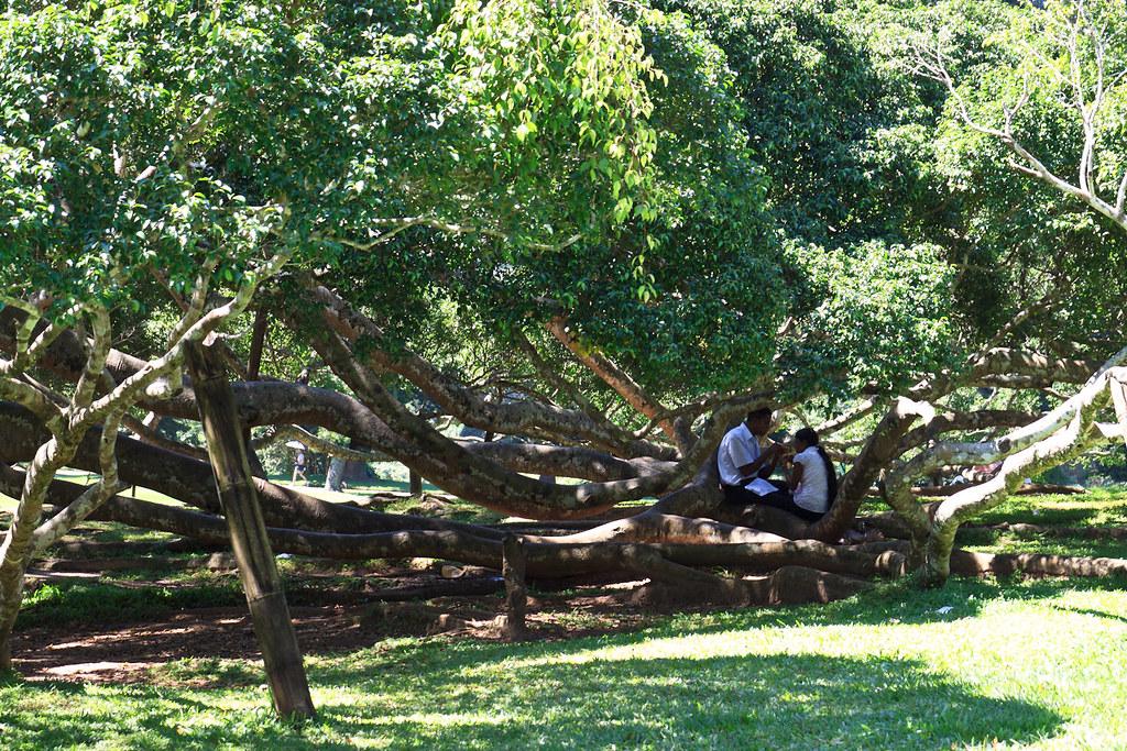 Jardin botanique de peradeniya sous les arbres blog for Bal des citrouilles jardin botanique