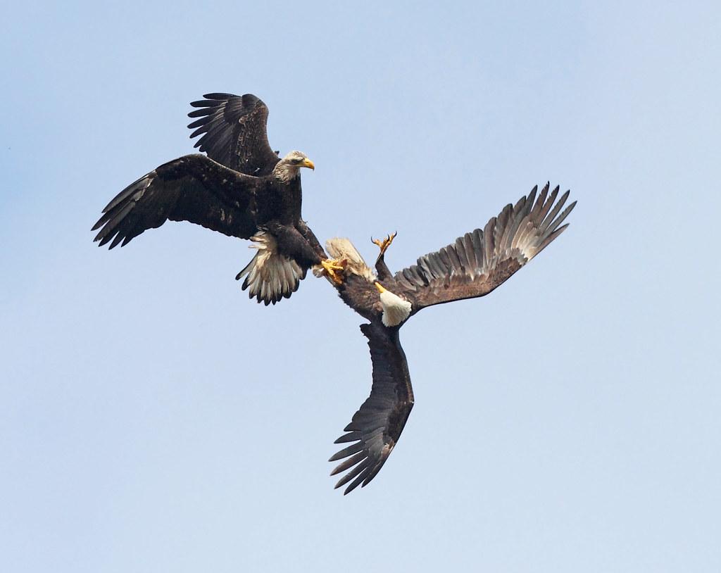 Life Cycle - Bald Eagle