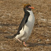 Macaroni Penguin making its way to the sea 0R7E4021