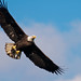 Eagle comes in for a close up with his lunch