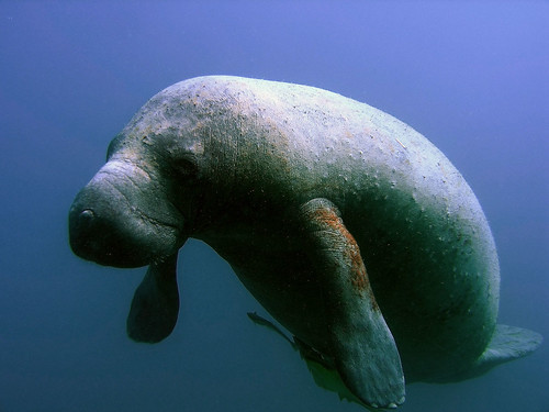 Manatee | by NOAA's National Ocean Service