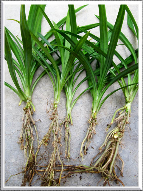 how to grow pandanus palms from seed