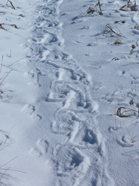 porcupine tracks in the snow flickr photo sharing