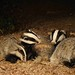 Badgers grooming