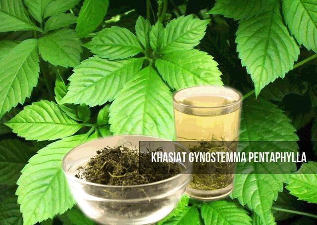 Khasiat Gynostemma Pentaphylla