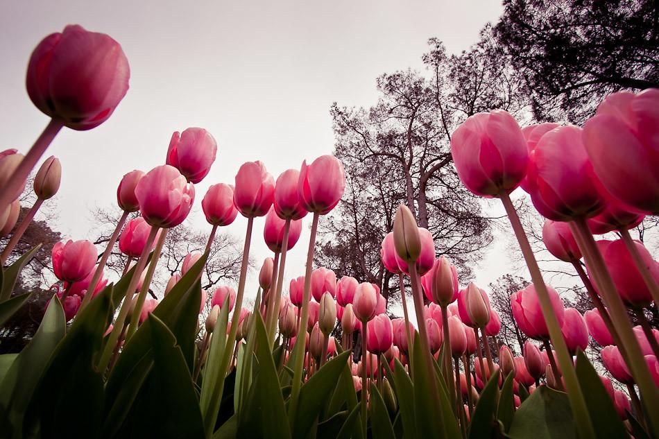 Tulips in Emirgan