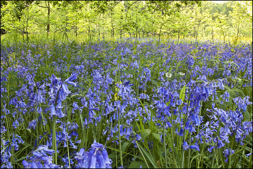 Bluebells | by Colin RedGriff
