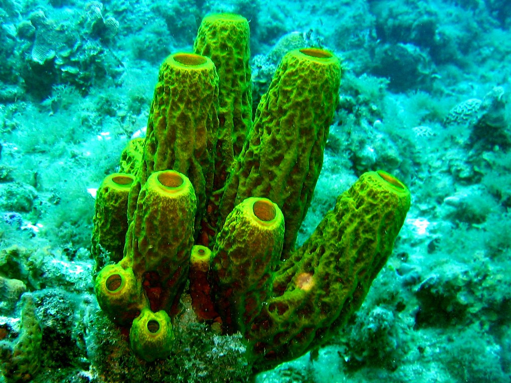 Tube coral | Jon Connell | Flickr