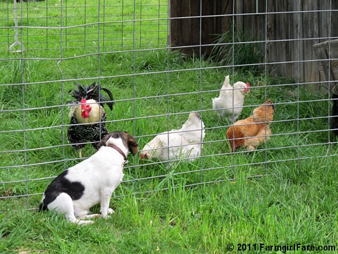 Chicken TV 1 | by Farmgirl Susan