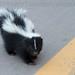 Juvenile Skunk