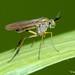Mosca // Longlegged Fly (Syntormon pallipes)