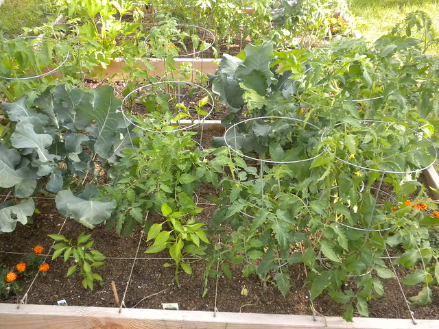 Tomato Plants Peppers And Broccoli In Square Foot Garden