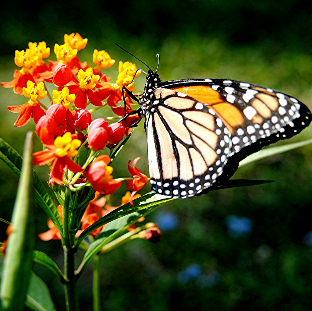 monarch butterfly  feasting  brilliant red  gold mi flickr