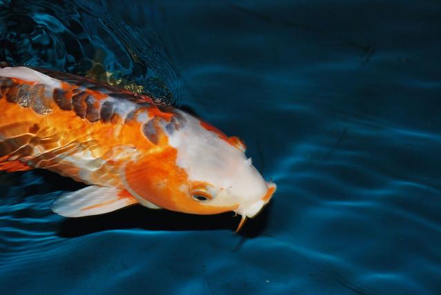 Koi fish flickr photo sharing for Koi fish games