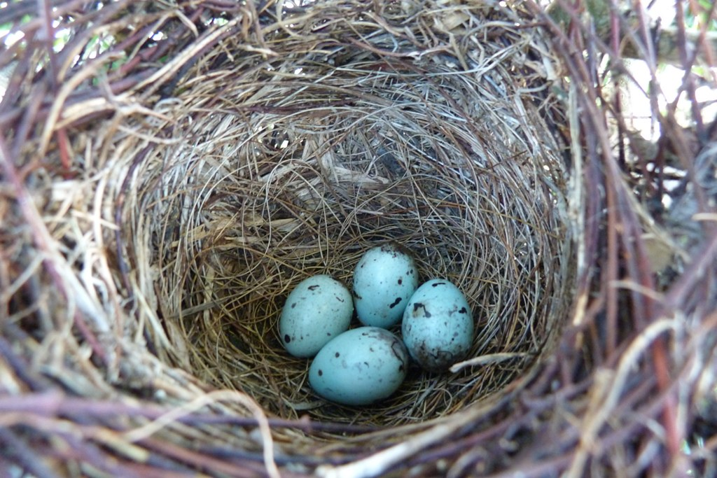 Grackles eggs. | The breeding habitat is open and semi ...
