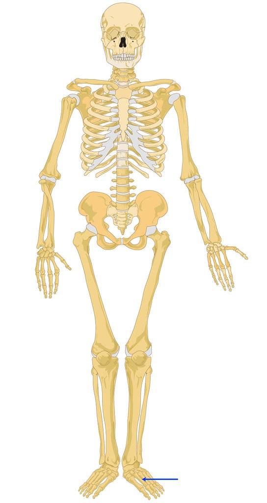 Skeleton_Body_Front-20...