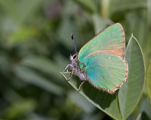 Green Hairstreak - Callophrys rubi | by Greenwings Wildlife Holidays