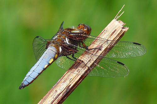 Male Broad-bodied Chaser 1 | by michael.smith86