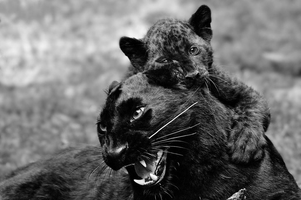 Zoo Amnéville-2010-610 | Panthère noire (avec son petit ...